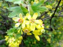 Floraison du cassis photo stock