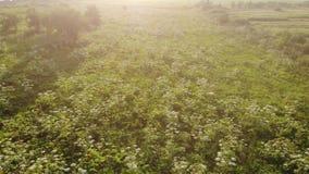 Floraison du Heracleum toxique dangereux d'usine, vue aérienne Également connu en tant que panais géant de berce ou de vache, vue clips vidéos