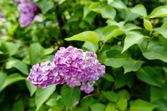 Floraison du lilas dans le jardin Photographie stock