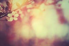 Floraison du prunier photo libre de droits