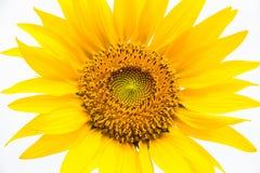 Floraison du tournesol Photo libre de droits