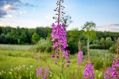 Floraison du willowherb ou de l'épilobe de laurier-rose médicinal image libre de droits
