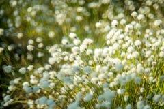Floraison et bokeh blancs d'usine image stock