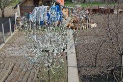Floraison et poulet de cerisier dans le jardin photo stock
