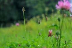 Floraison et trèfle envahi dans le domaine vert photo libre de droits