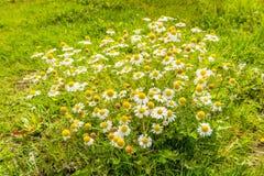 Floraison et usines dissipées de camomille de fin Image stock