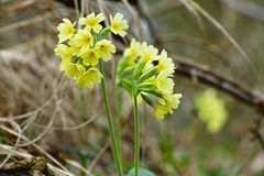 Floraison jaune d'oxlip Photo stock