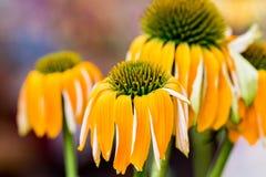 Floraison jaune de fleurs d'Echinacea L'Echinacea a utilisé dans la médecine parallèle un propulseur de sytem d'immun photos libres de droits