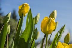 Floraison jaune de tulipes Photographie stock libre de droits