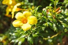 Floraison jaune de vigne de trompette d'or de fleur d'allamanda Photographie stock libre de droits