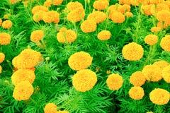 Floraison jaune-orange de fleur de souci belle dans le jardin : Foyer choisi avec la profondeur du champ Erecta de Tagetes, mA me Images libres de droits