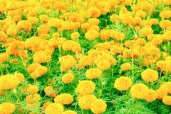 Floraison jaune-orange de fleur de souci belle dans le jardin : Foyer choisi avec la profondeur du champ Erecta de Tagetes, mA me Image stock