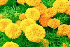 Floraison jaune-orange de fleur de souci belle dans le jardin : Foyer choisi avec la profondeur du champ Erecta de Tagetes, mA me Photo stock