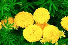Floraison jaune-orange de fleur de souci belle dans le jardin : Foyer choisi avec la profondeur du champ Erecta de Tagetes, mA me Image libre de droits