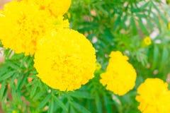 Floraison jaune-orange de fleur de souci belle dans le jardin : Foyer choisi avec la profondeur du champ Erecta de Tagetes, mA me Images stock