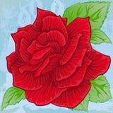 Floraison lumineuse de rose de rouge Images libres de droits