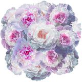 Floraison pâle - pivoine rose d'isolement sur le blanc photo stock