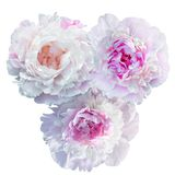 Floraison pâle - pivoine rose d'isolement sur le blanc images stock