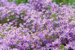 Floraison pourpre de fleurs de marguerite de marguerite des prés Photo stock