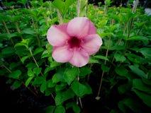 Floraison pourpre simple de fleur d'Allamanda image libre de droits