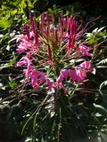 Floraison rose de fleur Image stock