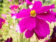 Floraison rose de fleur Photo libre de droits