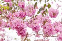 Floraison rose de fleur d'arbre de trompette (tabebuia) photographie stock
