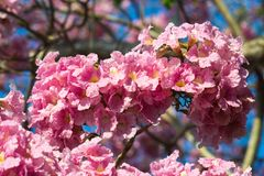 Floraison rose de fleur d'arbre de trompette Arbre de trompette commun de rose de nom de Bignoniaceae de famille de rosea de Tabe photo stock
