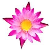 Floraison rose de fleur de fleur ou de nénuphar de lotus Photographie stock