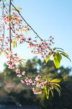 Floraison rose de fleur de Sakura image libre de droits
