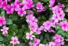 Floraison rose de fleur de vinca Photographie stock