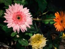 Floraison rose de fleur de Gerbera photographie stock libre de droits