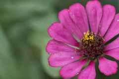 Floraison rose de fleur de Zinnia photos stock