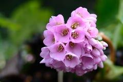 Floraison rose de fleurs Photos libres de droits
