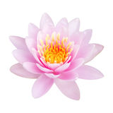 Floraison rose de lotus photo stock