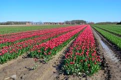 Floraison rose de tulipes Photos libres de droits