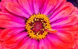 Floraison rose pourpre orange de fleur d'Astereaceae de Zinnia Photographie stock libre de droits