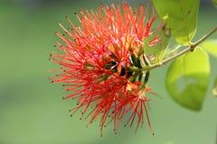 Floraison rouge de fleurs Image stock