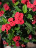 Floraison rouge de fleurs de milii d'euphorbe Photographie stock