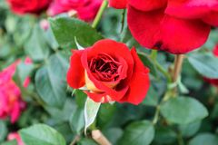 Floraison rouge de Rose Photographie stock libre de droits