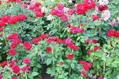 Floraison rouge de Rose Photo stock