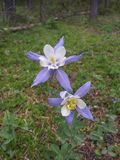 Floraison sauvage de fleurs de Columbine photographie stock libre de droits