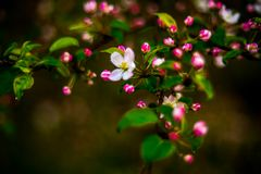 Floraison sauvage de pommier photo stock
