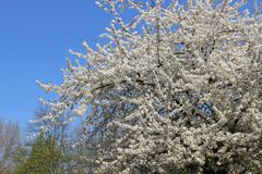 Floraison sensible de Cherry In Springtime blanc Photo libre de droits