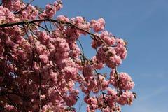 Floraison sensible de la cerise japonaise rose Sakura Image stock