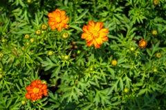 Floraison sulphureus orange et jaune de cosmos de couleur parmi l vert Images libres de droits