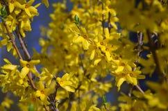 Floraison tôt de ressort des buissons de forsythia images libres de droits
