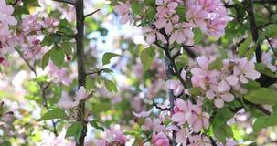 Floraison visuelle de fleurs de pommier de W Fleur fleurissant sur l'arbre dans le printemps Fleurs de fleur d'arbre de ressort a banque de vidéos