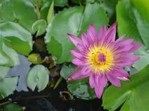 Floraison waterlily et feuilles de vert Photos libres de droits