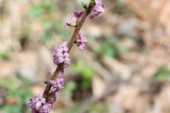 Floraison wolfberry d'usine toxique au printemps photographie stock